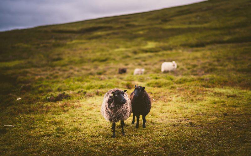 Shetland sheep on hill
